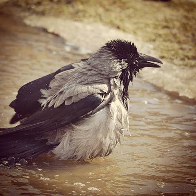 К чему каркают вороны: приметы и суеверия. ворона каркает в окно. ворона каркает над головой
