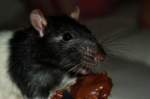 К чему снятся крысы: что о сновидении расскажут разные сонники