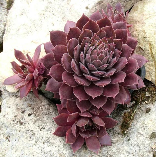 Молодило: каменный цветок в вашей оранжерее