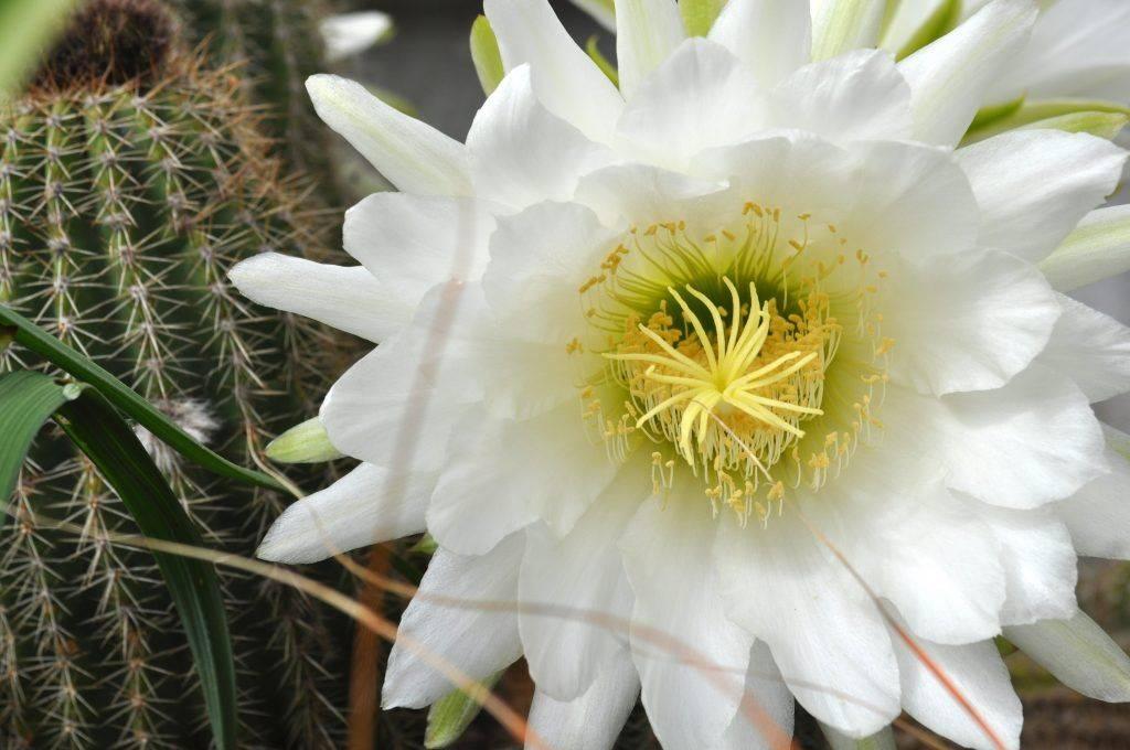 Почему нельзя держать дома кактусы. мифы и реальность