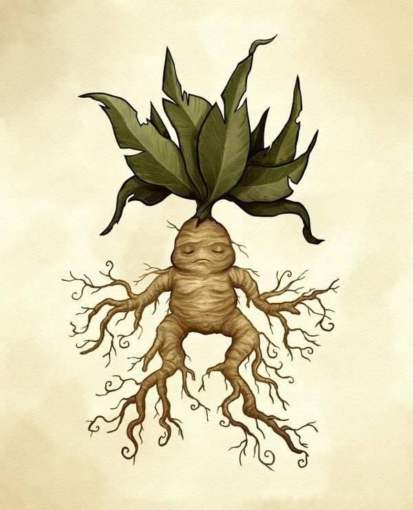 Мандрагора — овеянное легендами растение