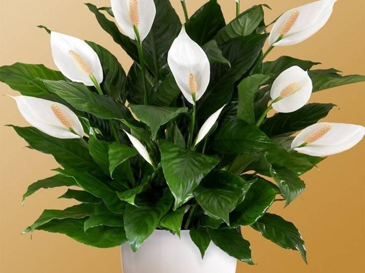 Цветок женское счастье спатифиллум: приметы и суеверия