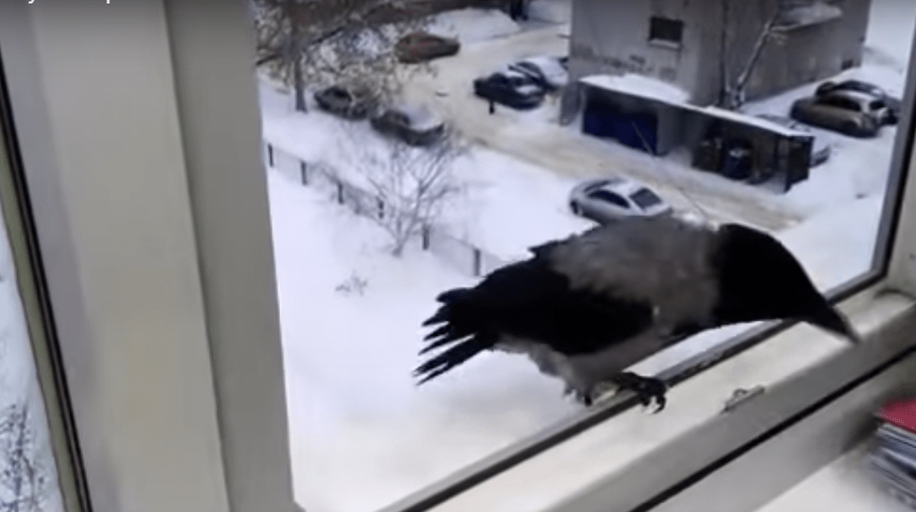 К чему птица бьется в окно: примета, если птица ударилась в окно к чему это | радуга