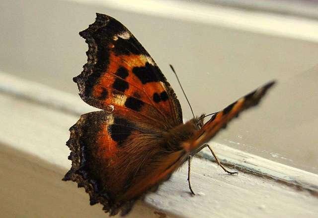 Примета бабочка залетела в квартиру, дом, окно