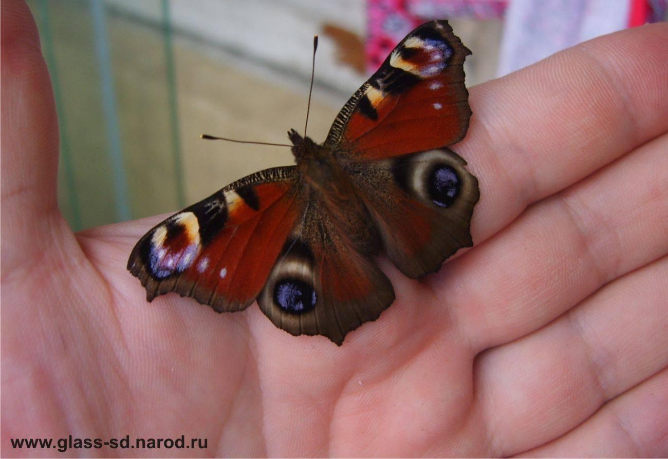 Бабочка залетела в окно: что значит примета, её толкование