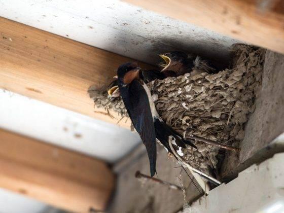 Залетел стриж на балкон: к чему это и что делать