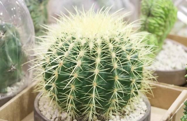 Приметы о кактусах