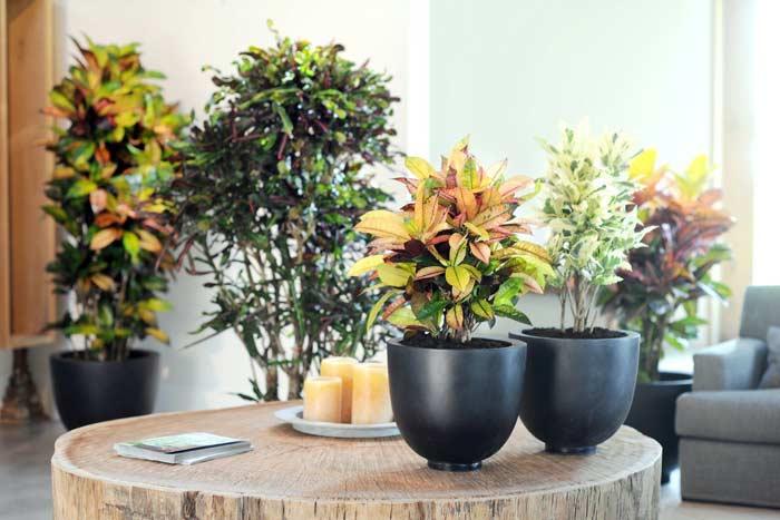 Приметы и суеверия о цветке кротон (кодиеум)
