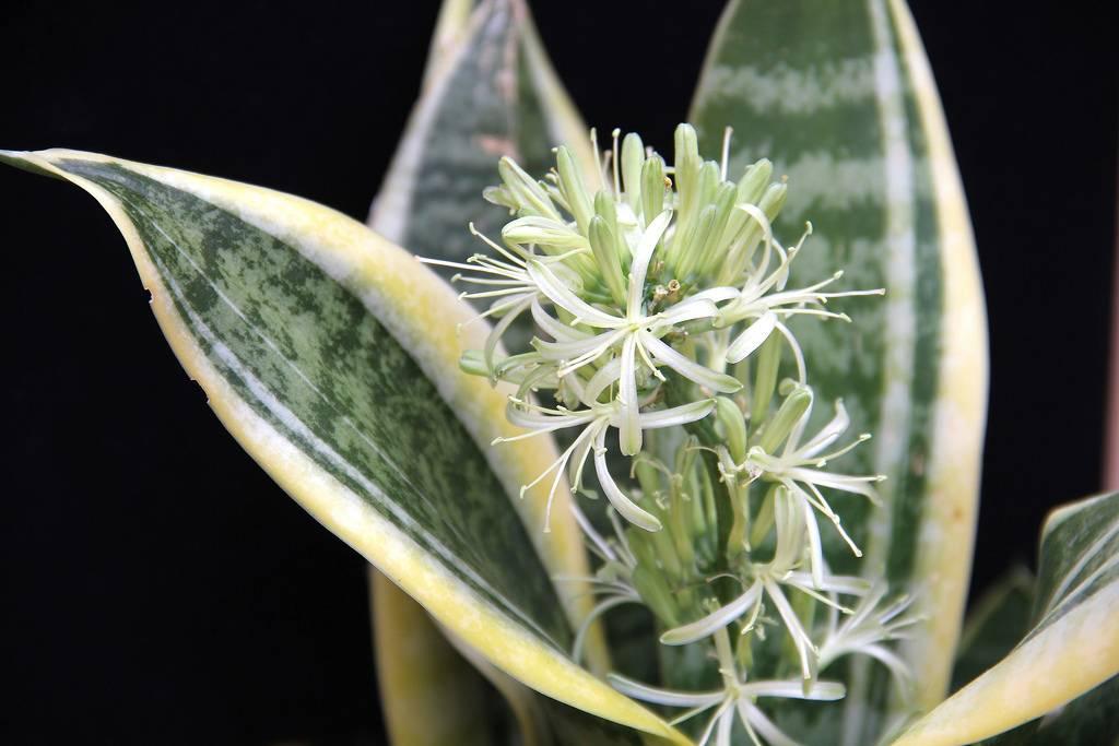 Цветок щучий хвост: вредные и полезные свойства