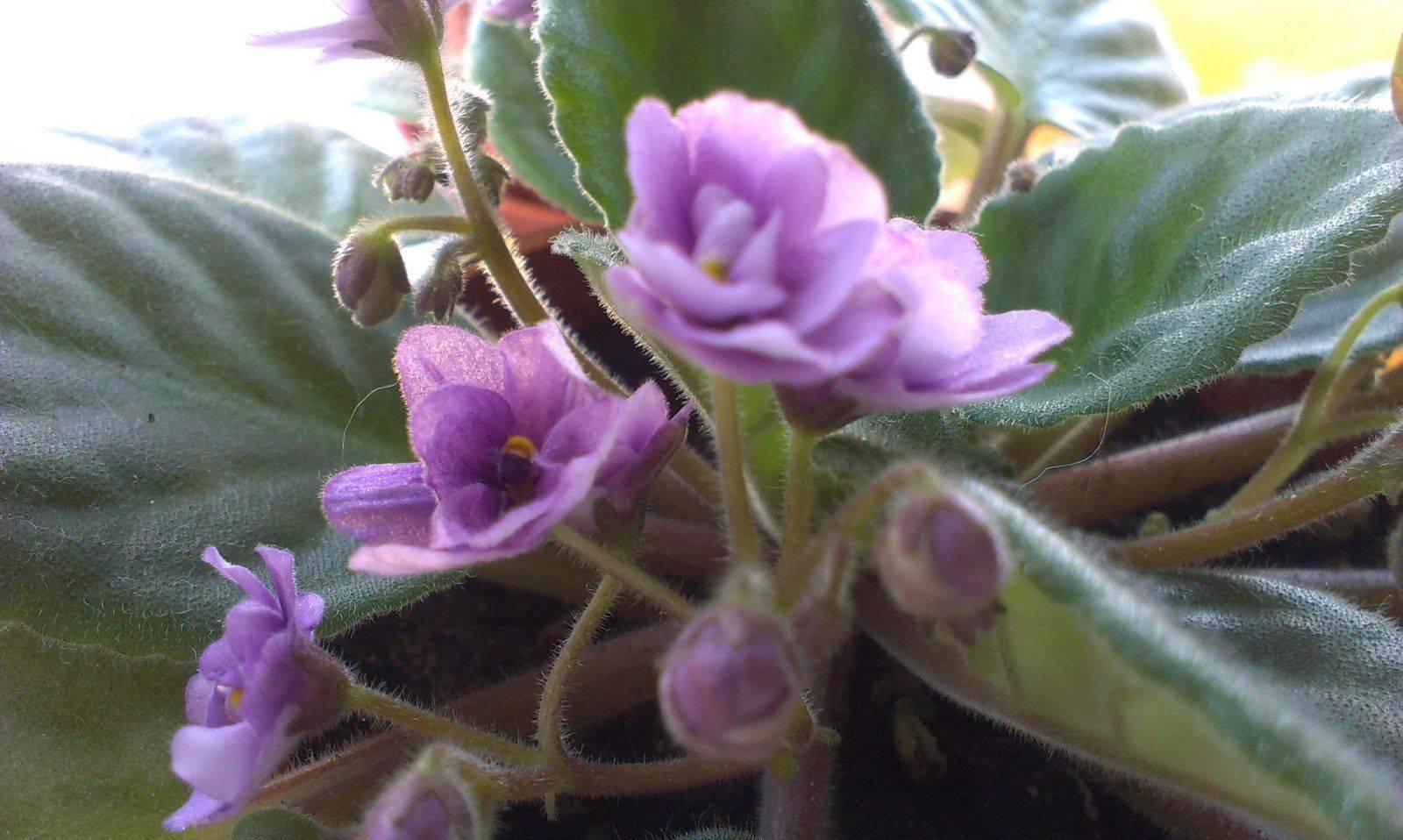 Фиалка в доме: приметы и суеверия о цветке, значение в снах