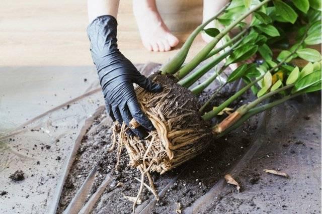 Экзотическое растение замиокулькас: приметы и суеверия