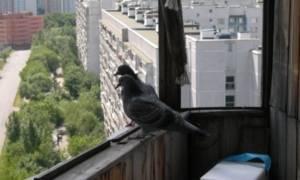 Если голубь или синица залетели на балкон, примета