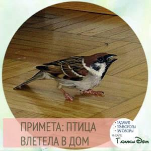 Хорошая или плохая примета - если в дом залетела птица - что делать, если в окно залетела птица, приметы других народов