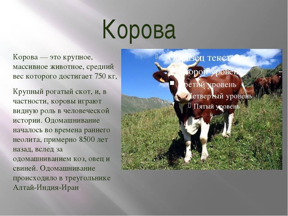 К чему снится корова мужчине: что это значит, белая, черная, рыжая, нападает, с теленком