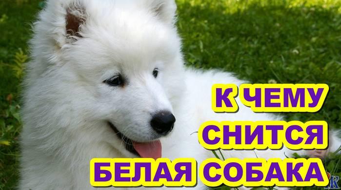 Собака большая белая