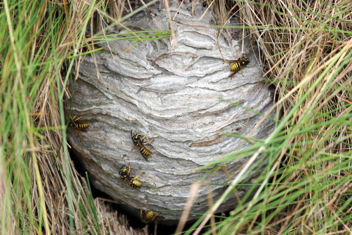 Если осы свили гнездо в доме примета