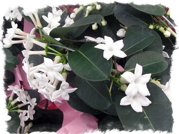 """Стефанотис (лиану) можно ли держать дома: народные приметы - стефанотис - """"свадебный цветок"""""""