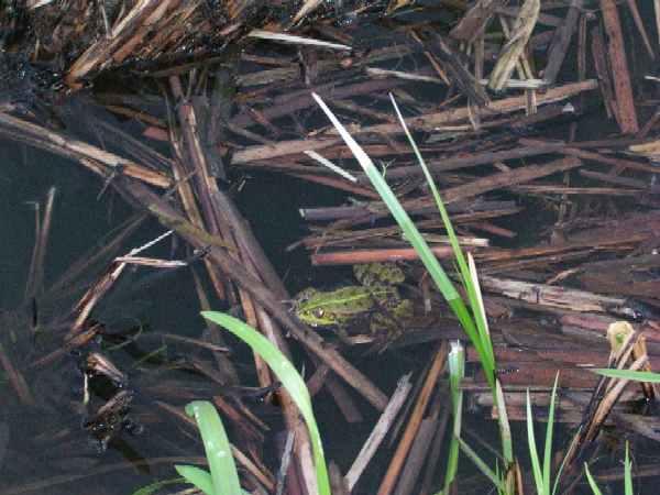 Лягушка в доме к чему примета. приметы о лягушках
