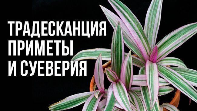 Традесканция: приметы и суеверия
