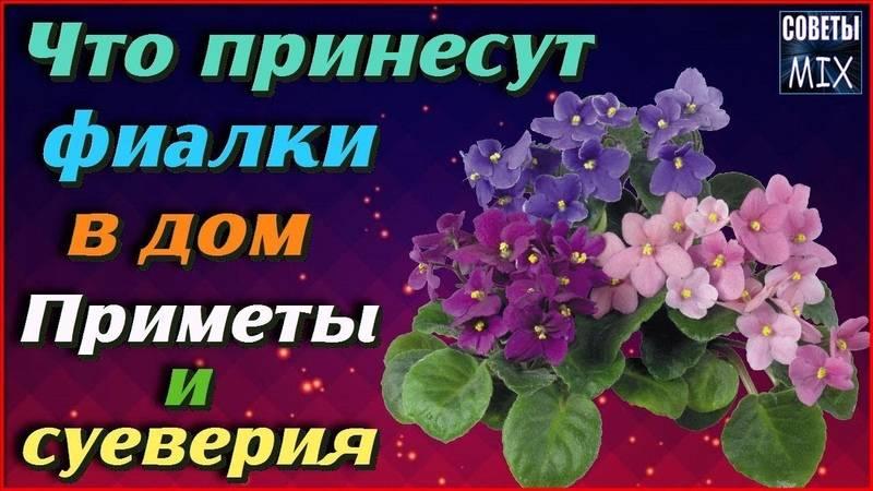 Фиалка: приметы и суеверия, значение цветка, можно ли выращивать фиалки дома