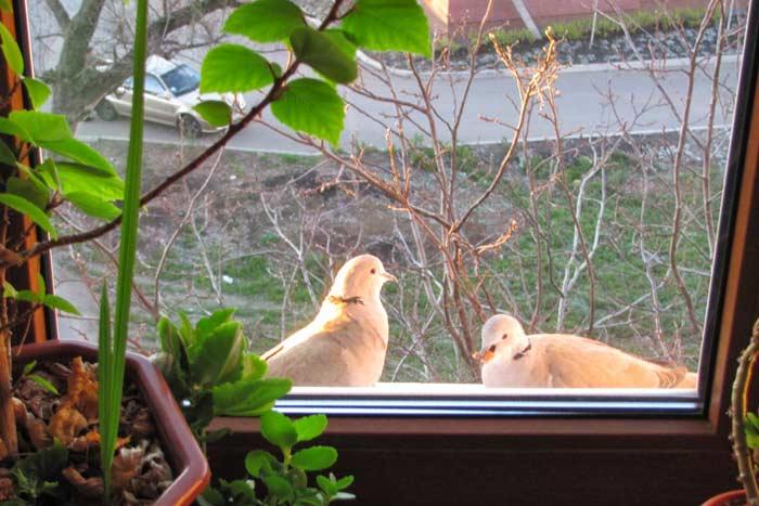 Примета голубь сел на подоконник за окном – хорошо или ждать беды