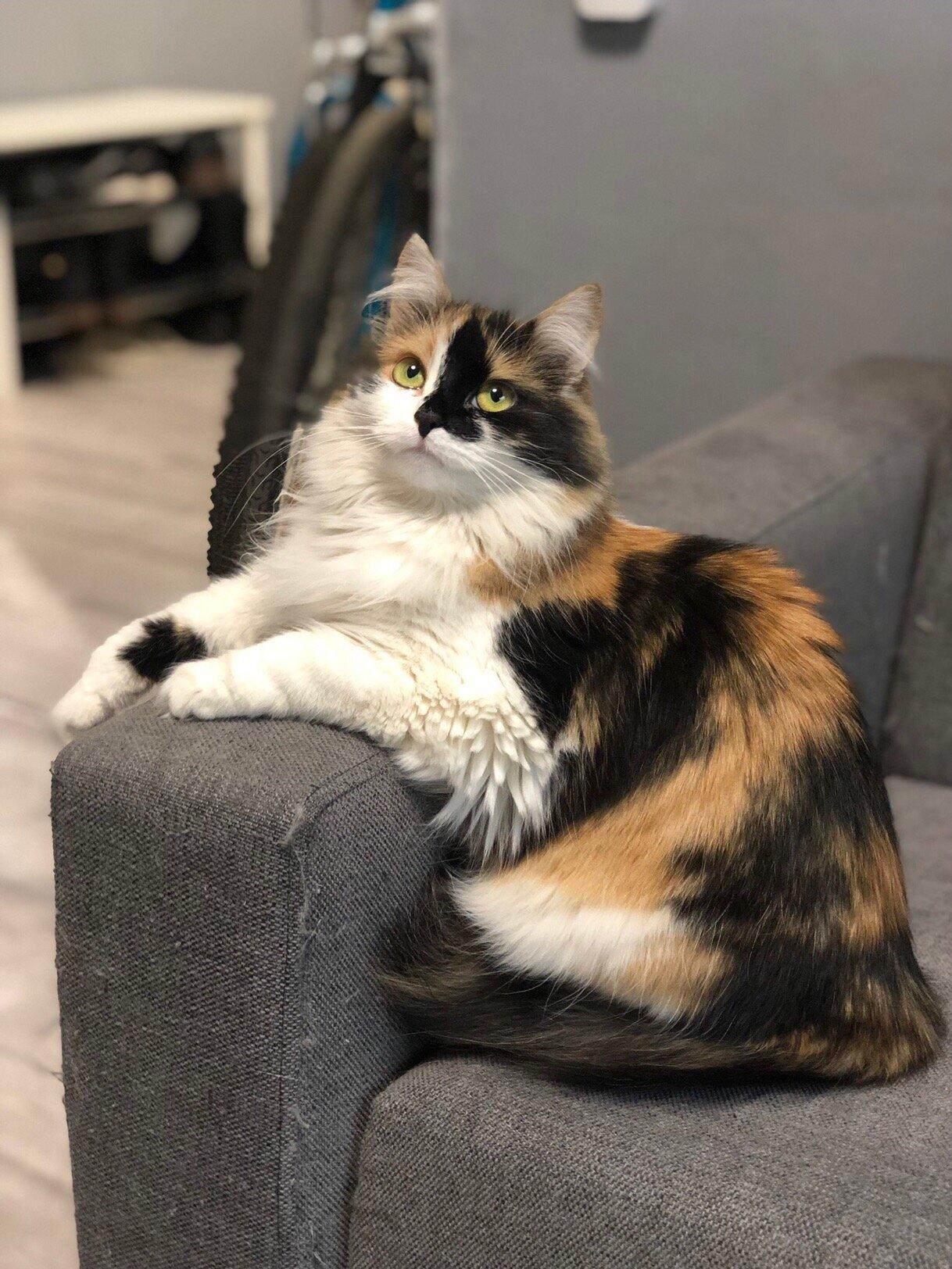 Как трехцветная кошка влияет на энерегетику дома в котором она живет