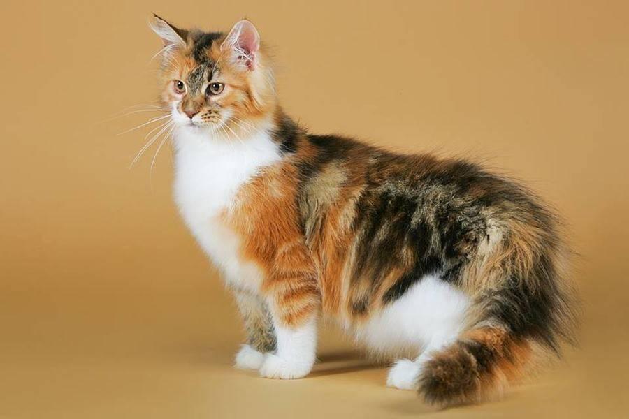 Трехцветная кошка в доме: что сулит хозяевам согласно приметам
