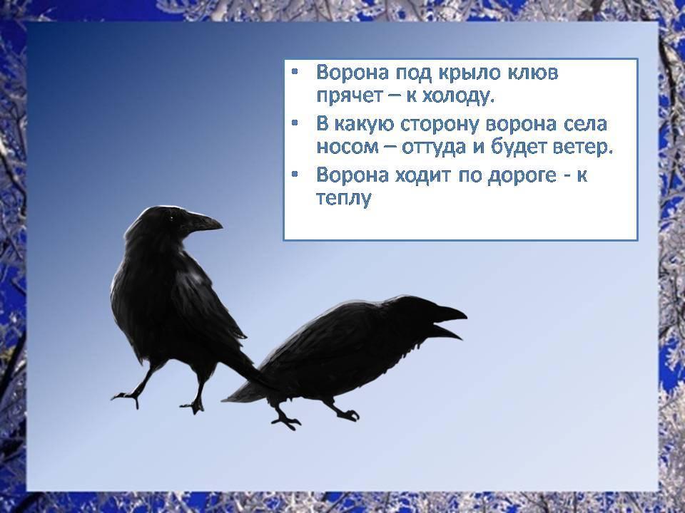 Какие существуют приметы про ворон