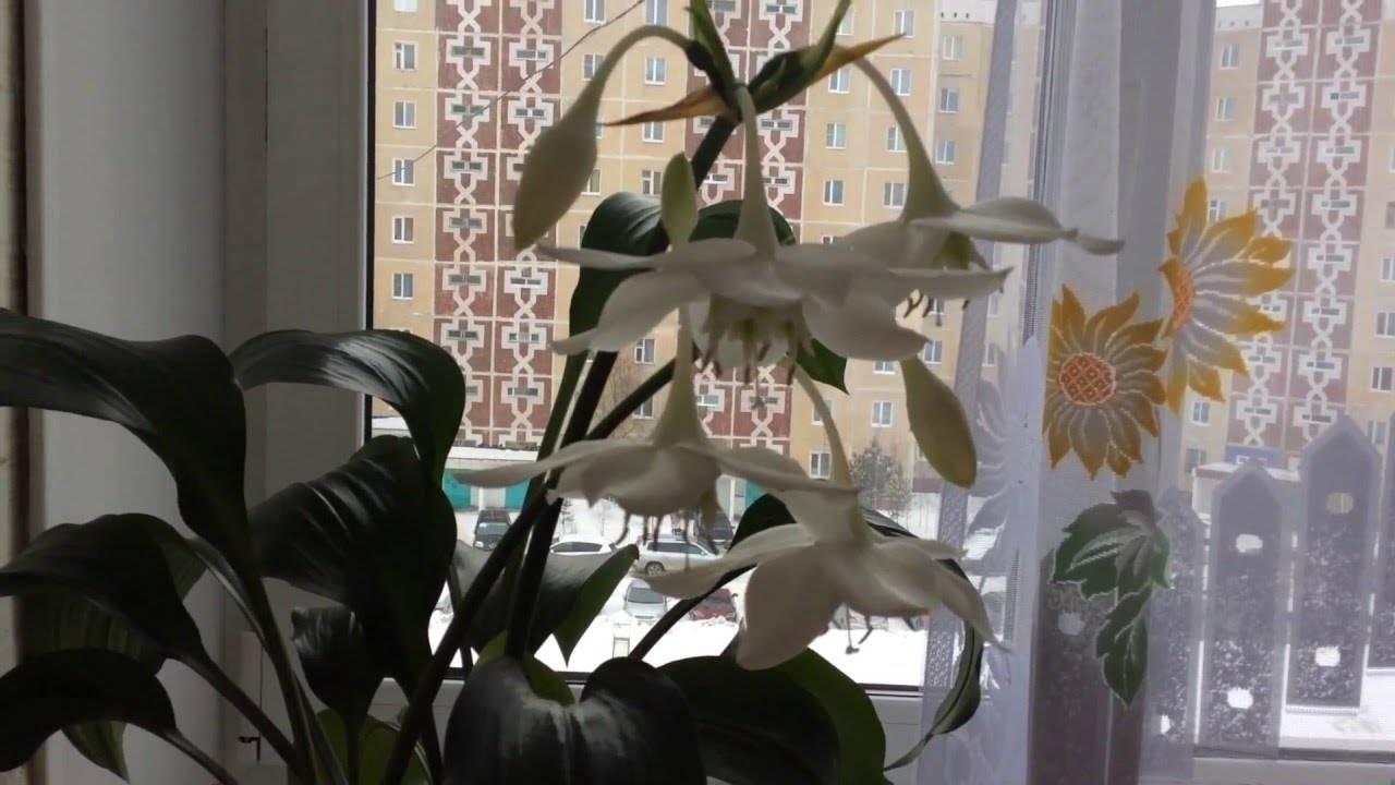 Эухарис дома: приметы и суеверия о амазонской лилии для женщин