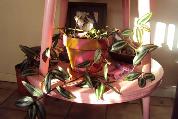 Цветок традесканция: приметы и суеверия
