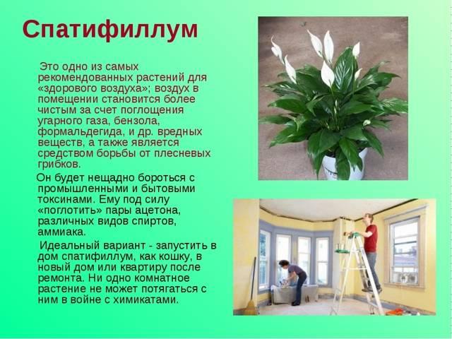 Приметы и суеверия о цветке женское счастье (спатифиллум)