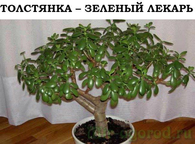 Денежное дерево – как правильно его посадить, чтоб велись деньги, и привлечь богатство