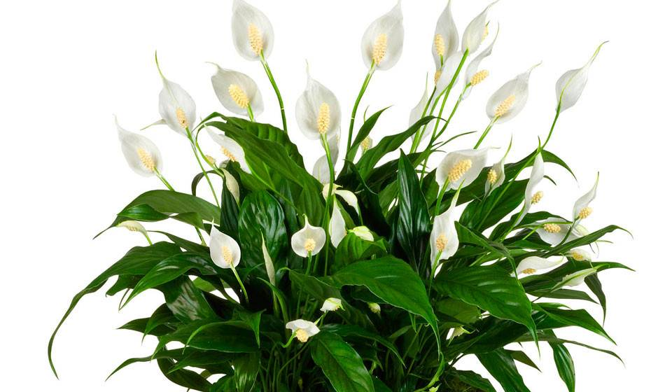 Цветок женское счастье (спатифиллум): приметы