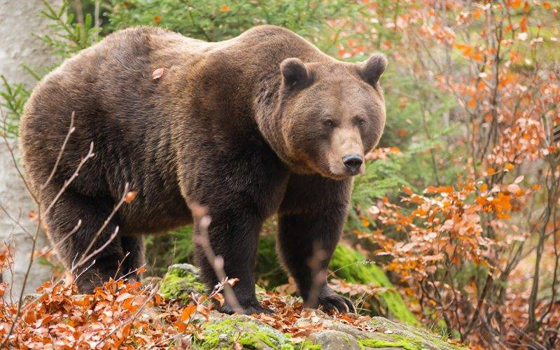К чему снится медведь — различные толкования сна, в котором вы видите медведя