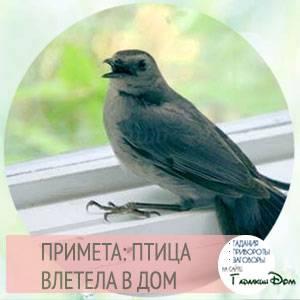 Птица залетела в дом – что означает примета