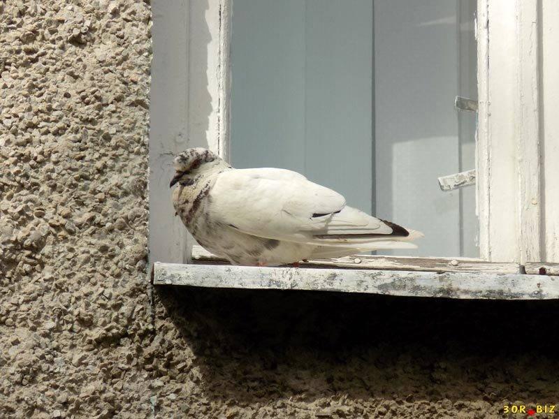 Голубь сел на подоконник за окном: примета