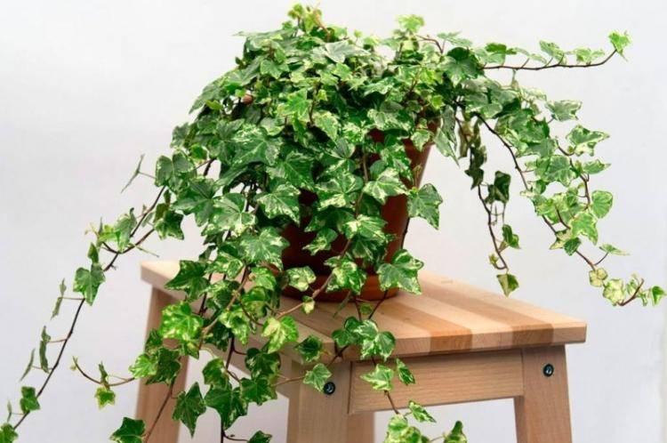 Приметы про растение комнатный плющ