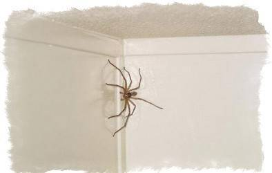Домашние пауки: какие бывают, чем питаются в квартире и сколько живут, почему появляются в доме