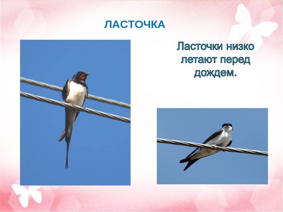 Ласточки низко летают — к чему это по примете?