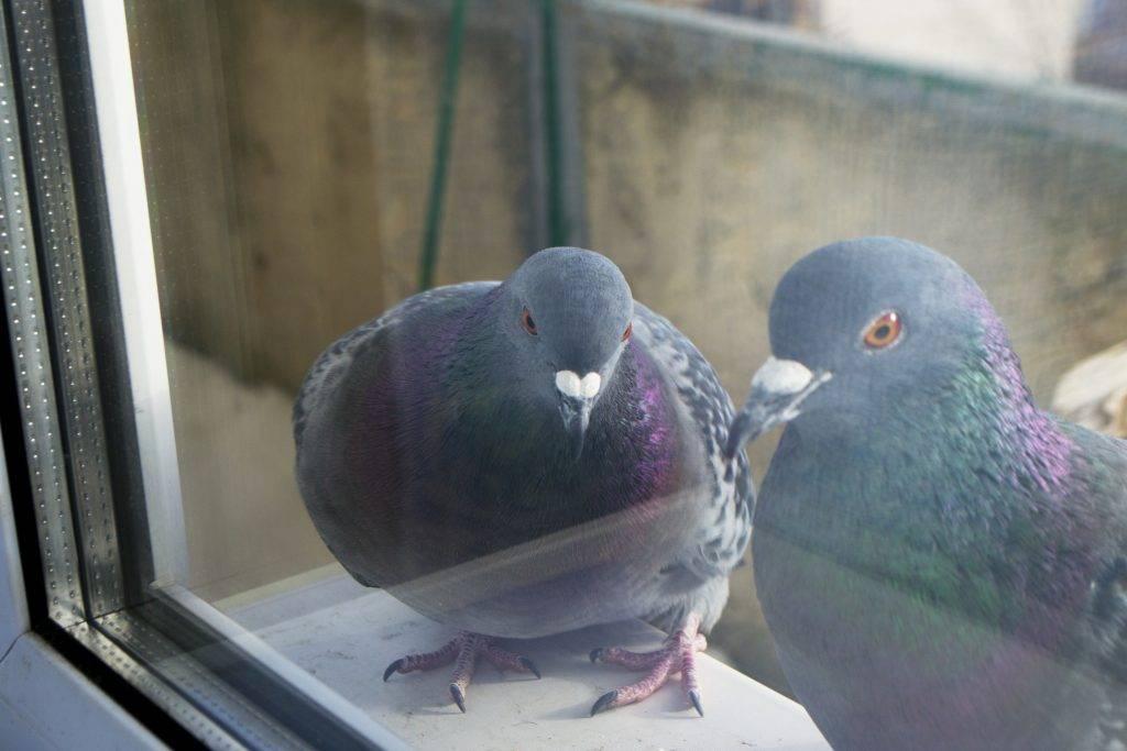 Примета: голубь сел на подоконник за окном. к чему это