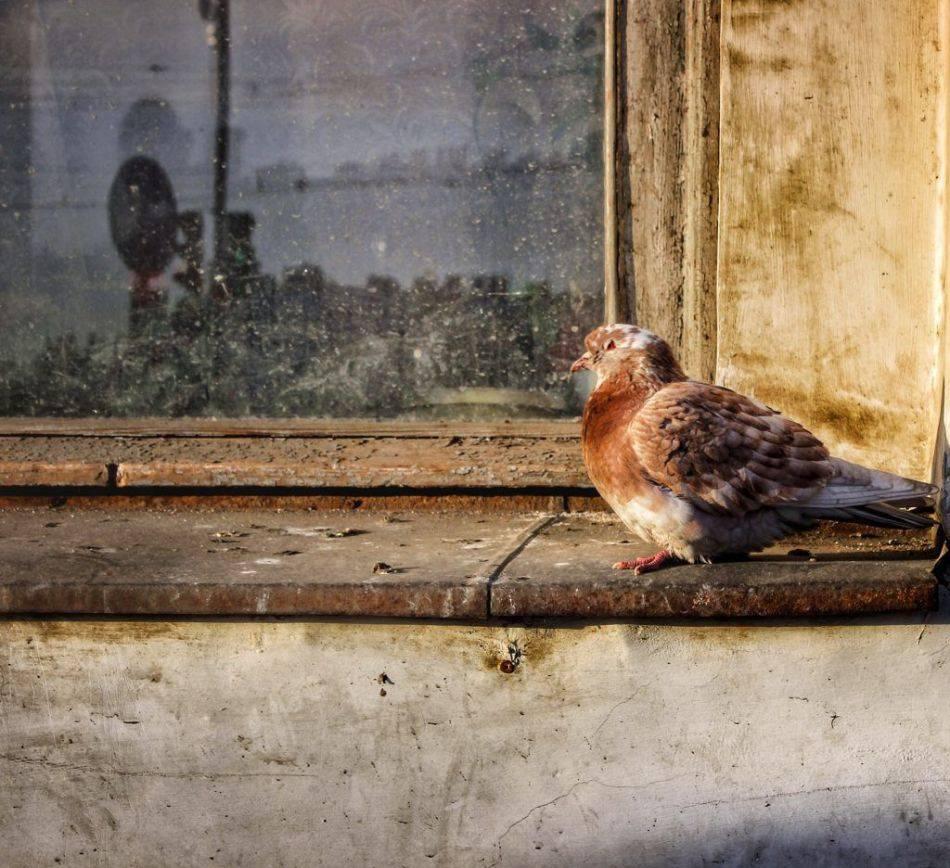 Голубь сел на подоконник за окном. к чему это
