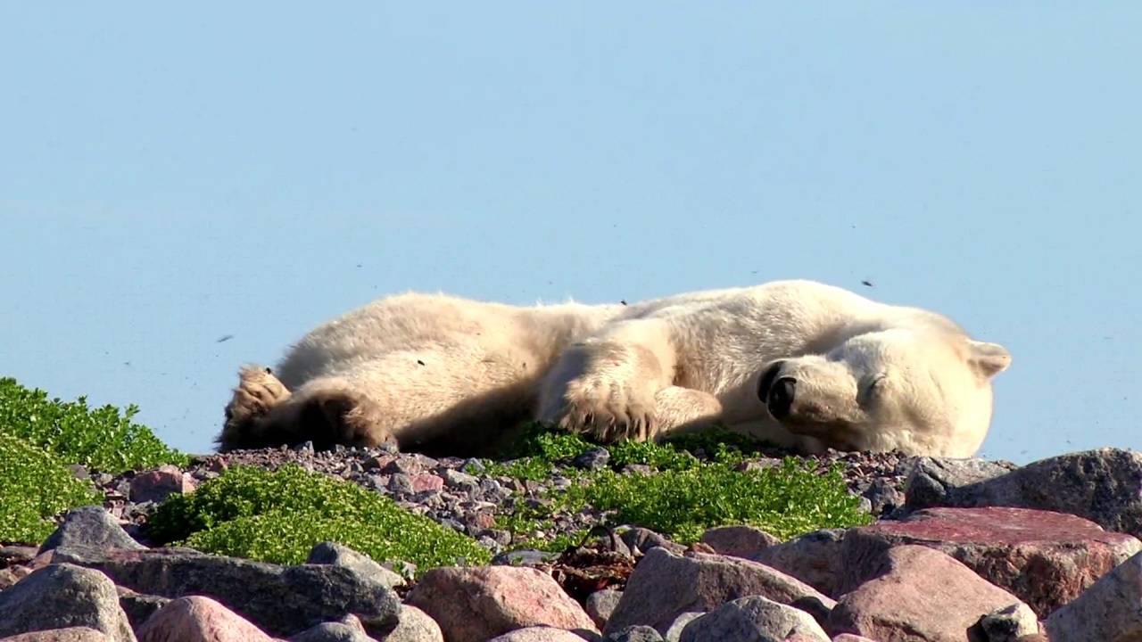 Сонник медведь, к чему снится медведь женщине толкование по миллеру видеть во сне