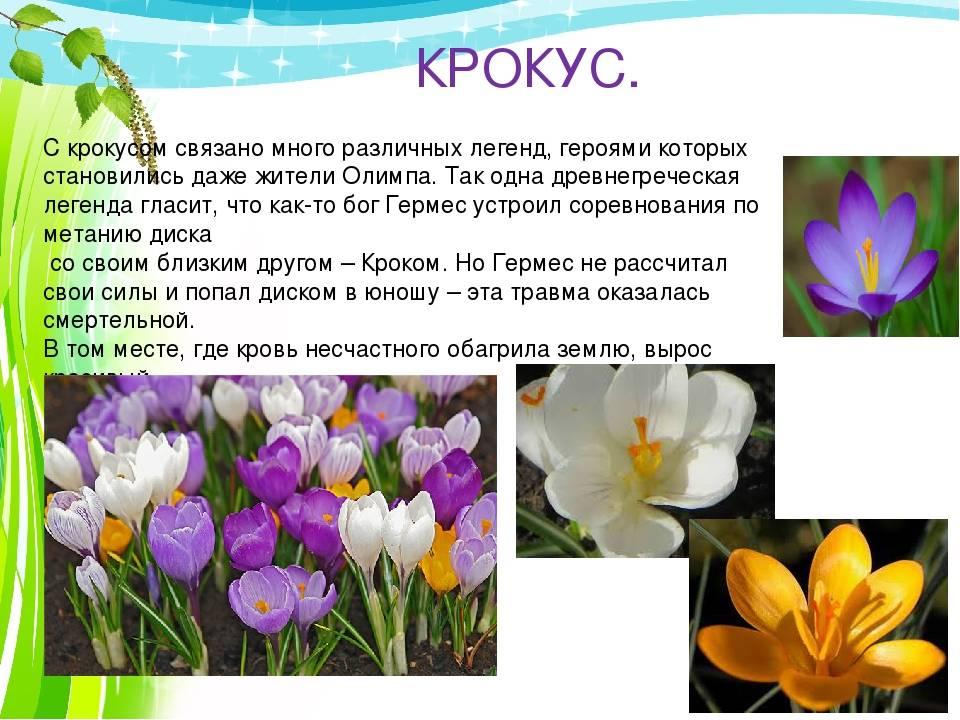 Диковинные легенды и поверья о весенних цветах. сочинение «весенние цветы сказка о первых весенних цветах