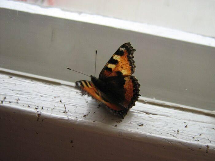 Бабочка залетела в дом или квартиру – примета. приметы, связанные с бабочками, залетевшими в дом. статья расскажет о том, какие приметы и как трактуют залетевшую в дом бабочку