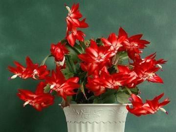 Рождественник в доме: приметы о зимнем цветке декабрист