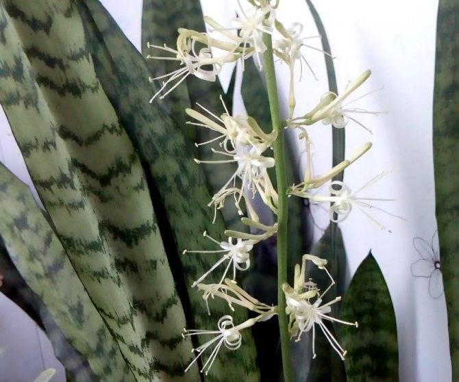 Как вырастить цветок щучий хвост сансевиерию в домашних условиях