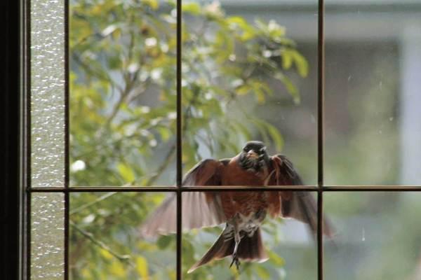 К чему птица бьется в окно: толкование приметы