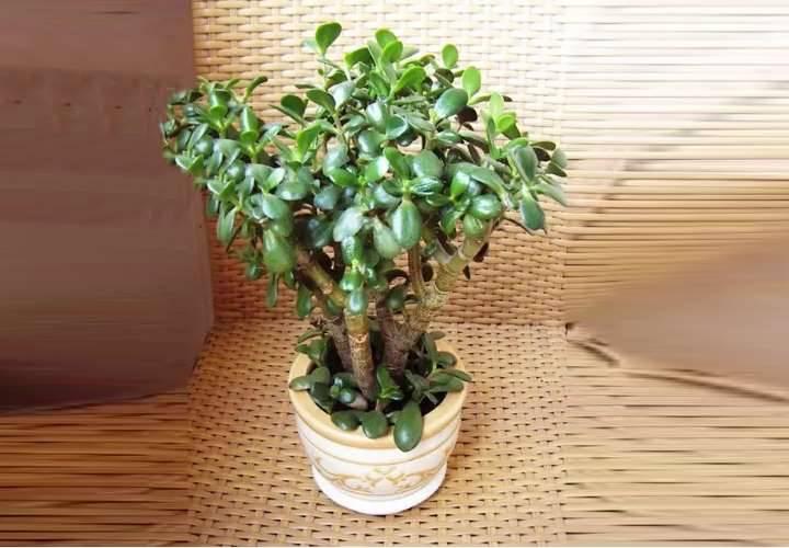 Живое дерево — лечебные свойства, вред и противопоказания. лечебные свойства живого дерева и противопоказания к его применению