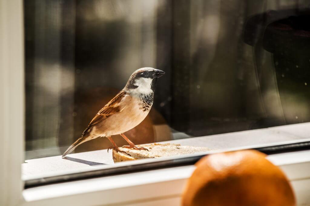 Примета: птица стучит в окно ▶ какая примета если птица бьется в окно?