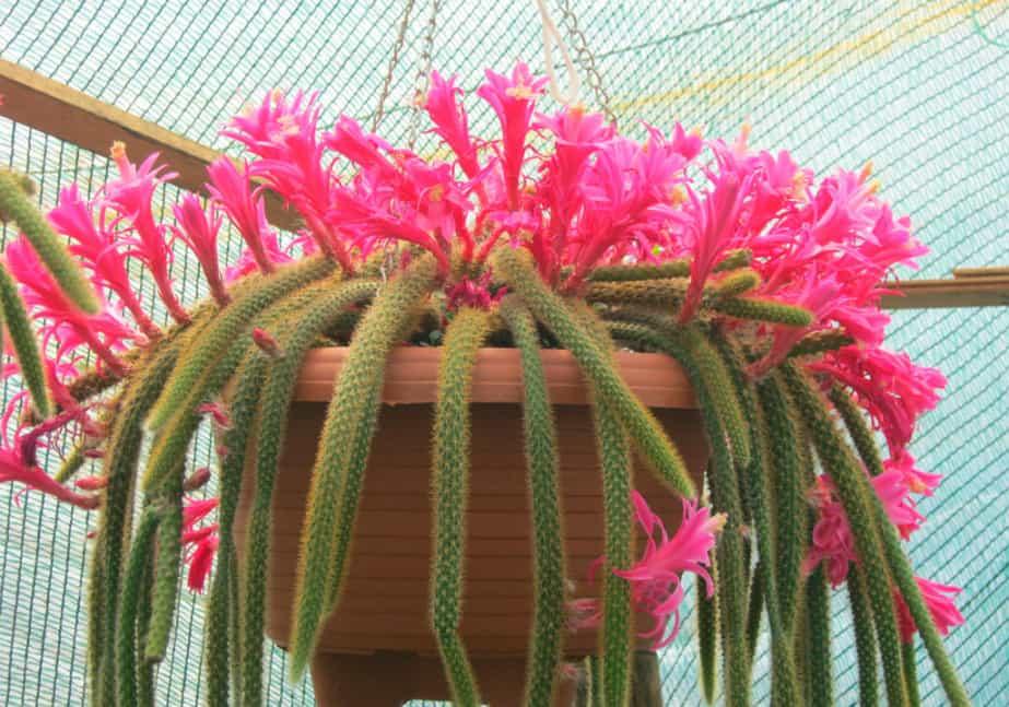 Можно ли держать дома кактусы: приметы о кактусе